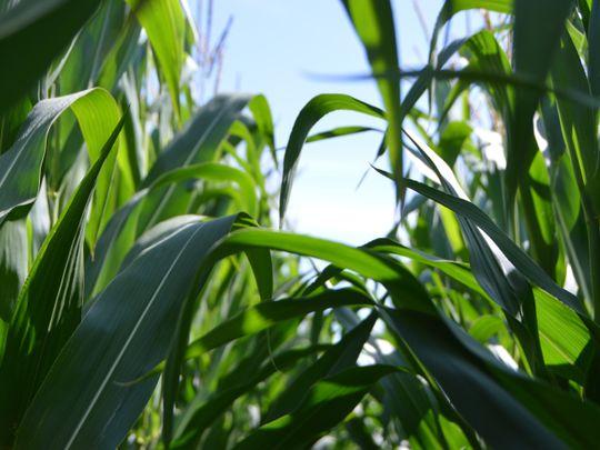UAE farming