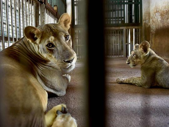 Lions at the famous 'Arignar Anna Zoological Park' at Vandalur, in Chennai.