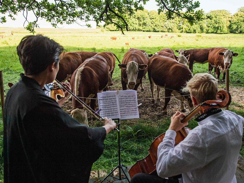 A herd of cows gathers as cellist Jacob Shaw (R) and violinist Roberta Verna