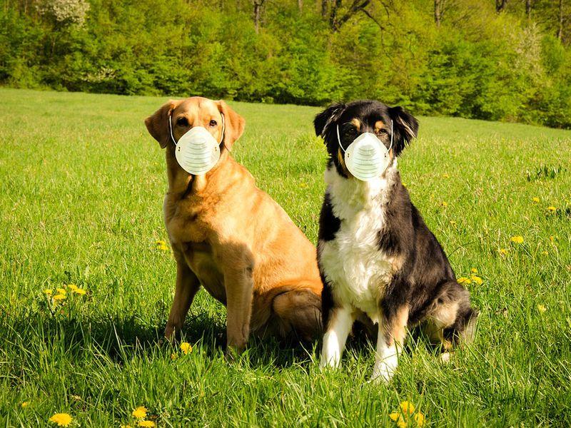 Dog Covid