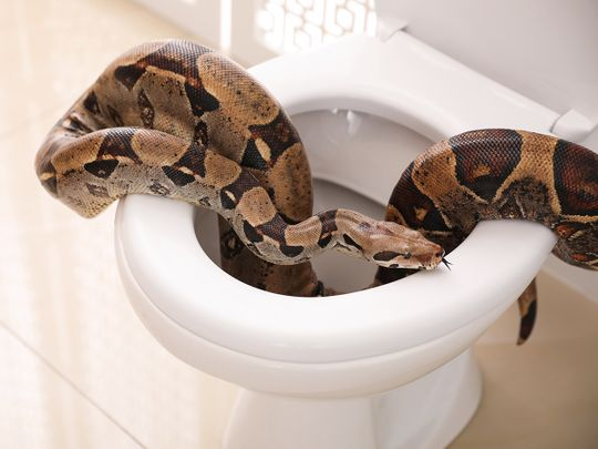 Austrian gets shock of his life as python bites him on the toilet