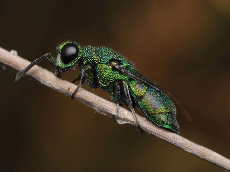Cuckoo-wasp
