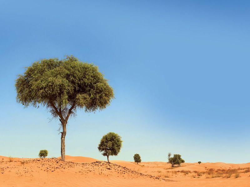 Ghaf-tree