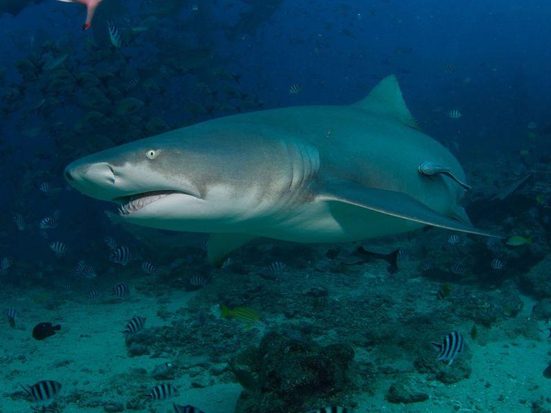 sicklefish lemon shark
