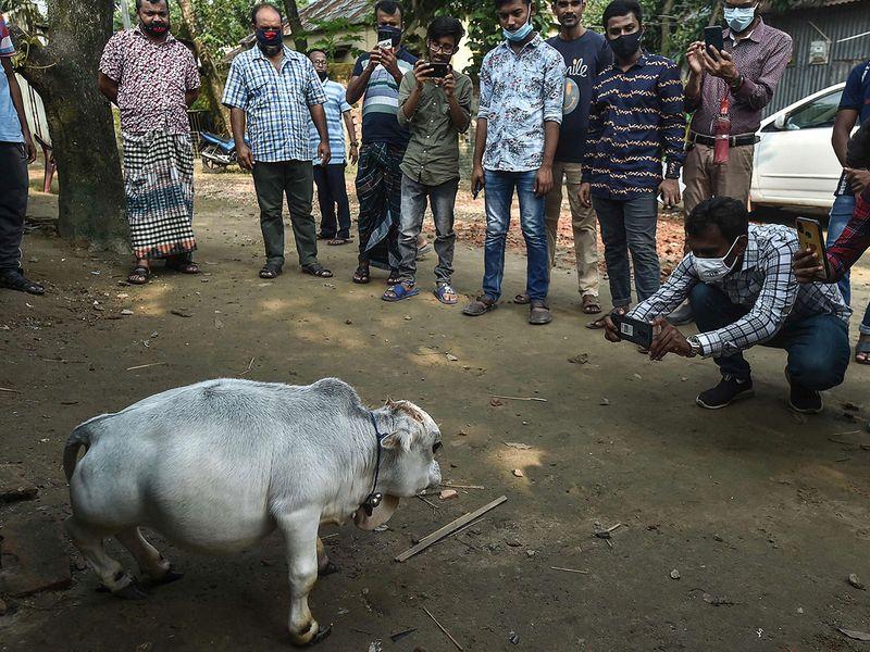 Dwarf cow gallery