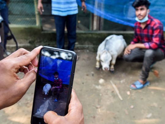 bangla cow dwarf-1625651300258