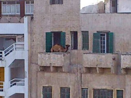 210714 Cairo camel
