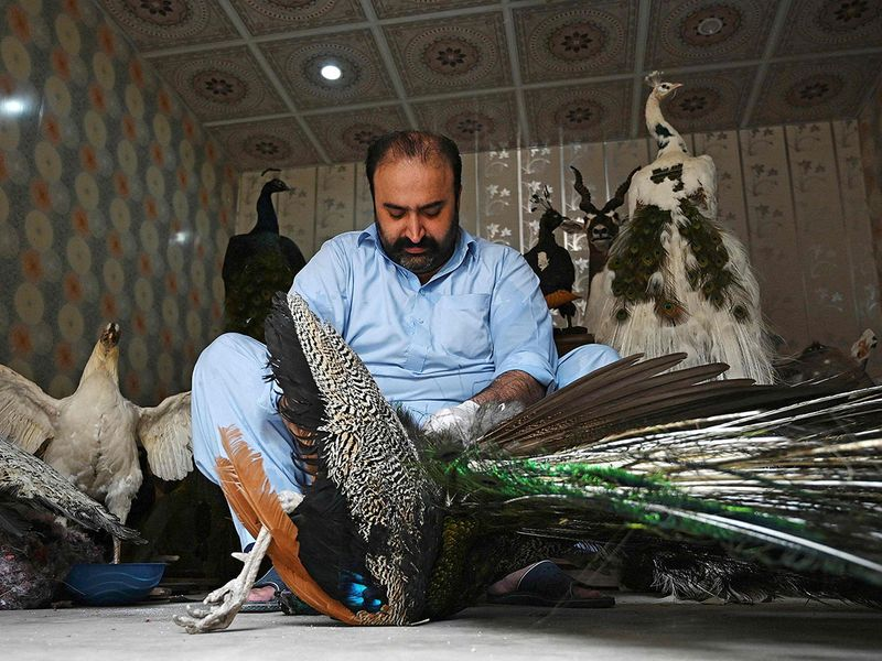 Pakistan taxidermist