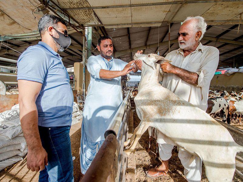 The Cattle Market at Al Qusais during the preparation of Eid Holidays. Dubai.