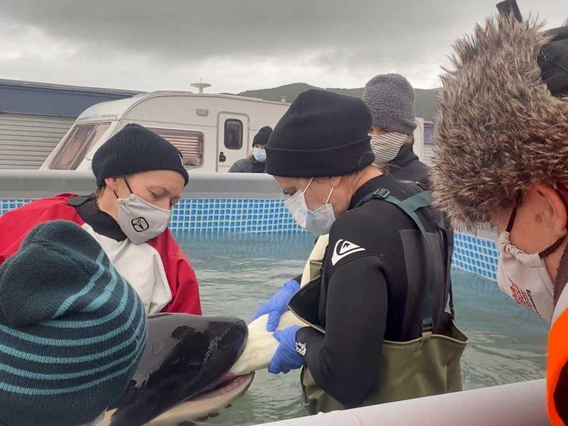 Toa baby orca killer whale new zealand