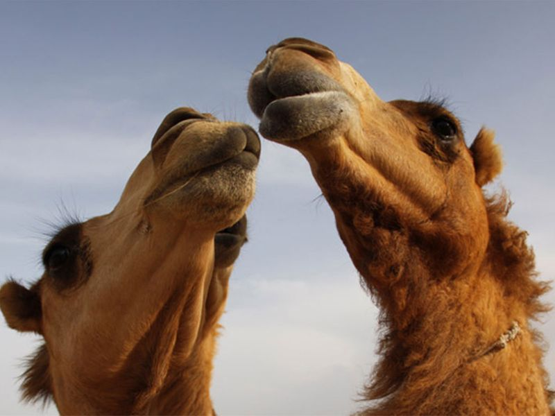 Dubai Camel Farm