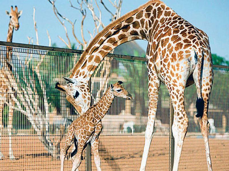 Giraffe, Al Ain Zoo