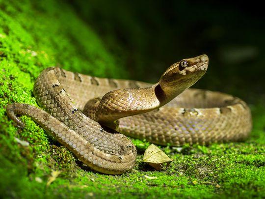 Poisonous snake, Malayan pit viper
