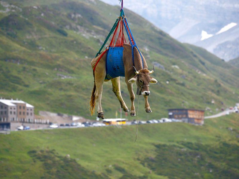 Swiss animals gallery