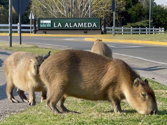 20210831 capybaras