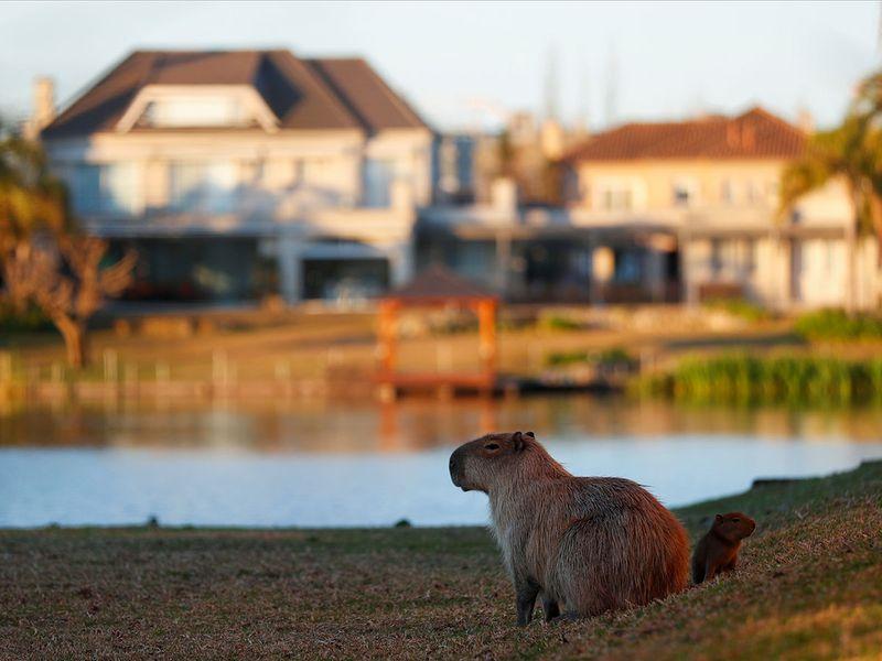 20210901 capybara