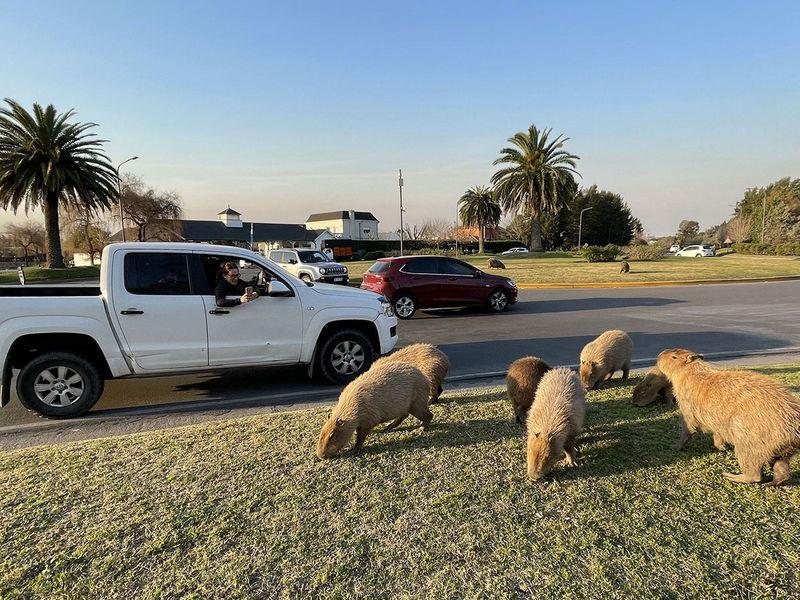 20210901 capybaras 2