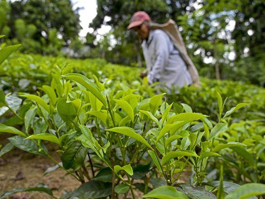 A labourer works at a tea plantation in Ratnapura.