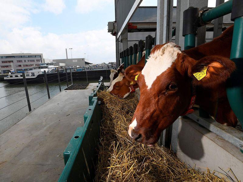 Floating dairy farm