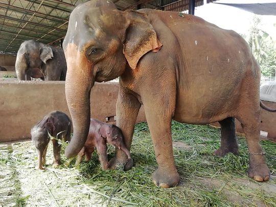 twin elephants