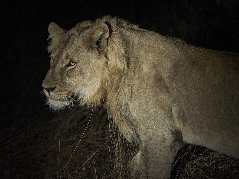 Balule lions gallery