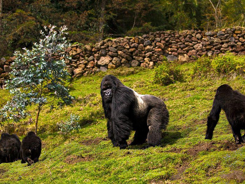 mountain gorillas rwanda