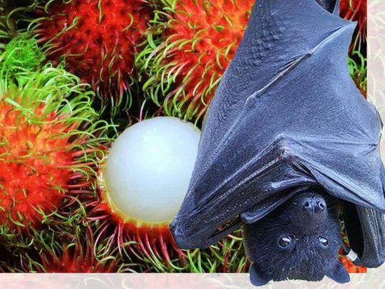 Bats rambutan