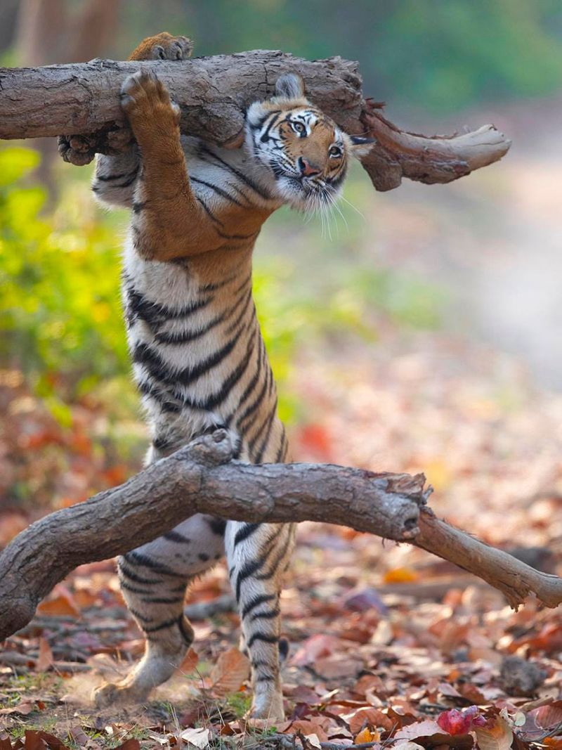 https___specials-images.forbesimg.com_imageserve_612f56174a72cc041515be55_A-tiger-seemingly-carrying-a-big-log-on-his-shoulders-1631026942261