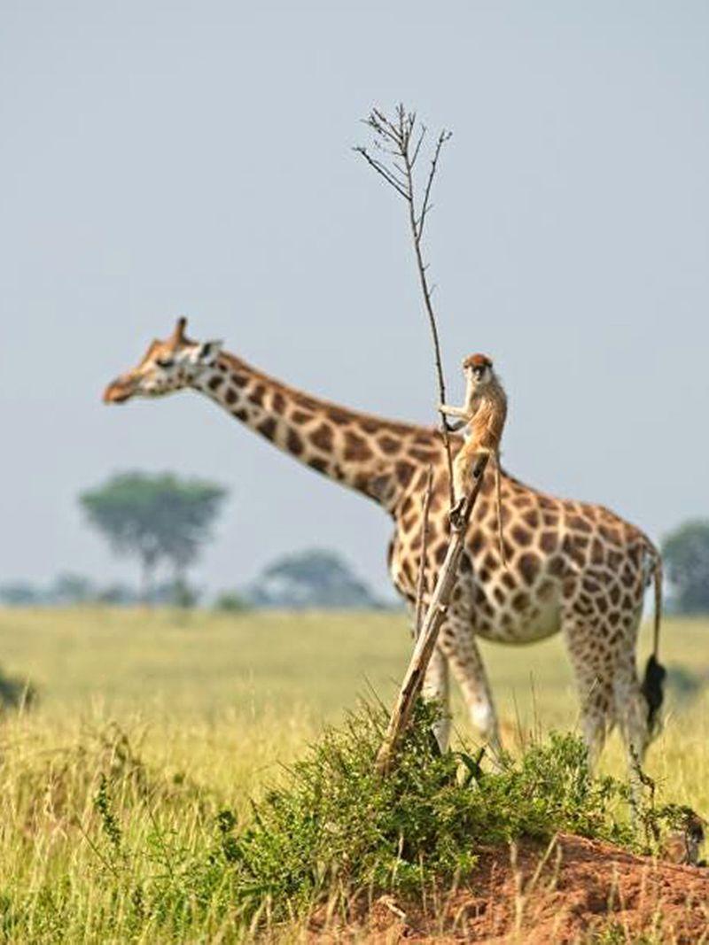 https___specials-images.forbesimg.com_imageserve_612f5700bef301b5ddbf0df8_A-monkey-seemingly-riding-a-giraffe-in-Uganda-_960x0.-1631026944276