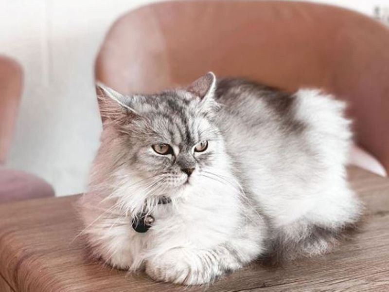 Cat Cafe Vibrissae