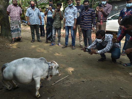 cow-1632904880141