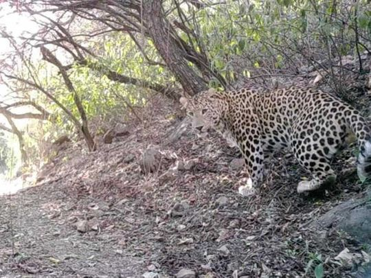 Pakistan leopard